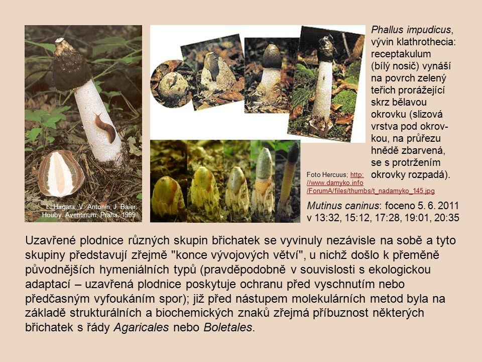 Phallus impudicus, vývin klathrothecia: