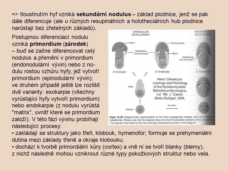 Postupnou diferenciací nodulu vzniká primordium (zárodek)