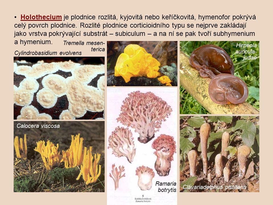 • Holothecium je plodnice rozlitá, kyjovitá nebo keříčkovitá, hymenofor pokrývá celý povrch plodnice. Rozlité plodnice corticioidního typu se nejprve zakládají jako vrstva pokrývající substrát – subiculum – a na ní se pak tvoří subhymenium a hymenium.