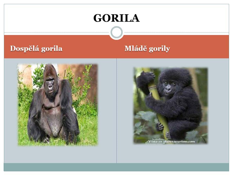 GORILA Dospělá gorila Mládě gorily