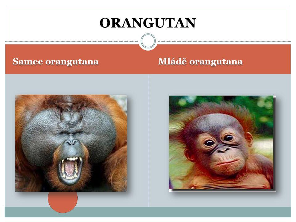 ORANGUTAN Samec orangutana Mládě orangutana