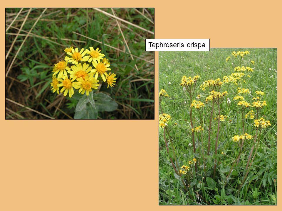 Tephroseris crispa