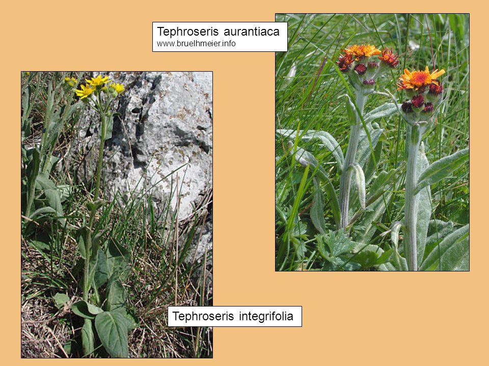 Tephroseris aurantiaca