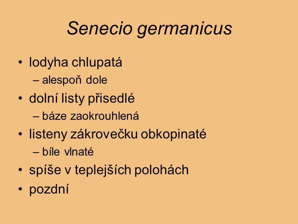 Senecio germanicus lodyha chlupatá dolní listy přisedlé