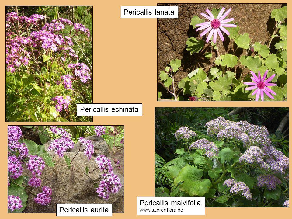 Pericallis malvifolia Pericallis aurita