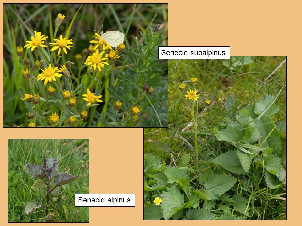 Senecio subalpinus Senecio alpinus