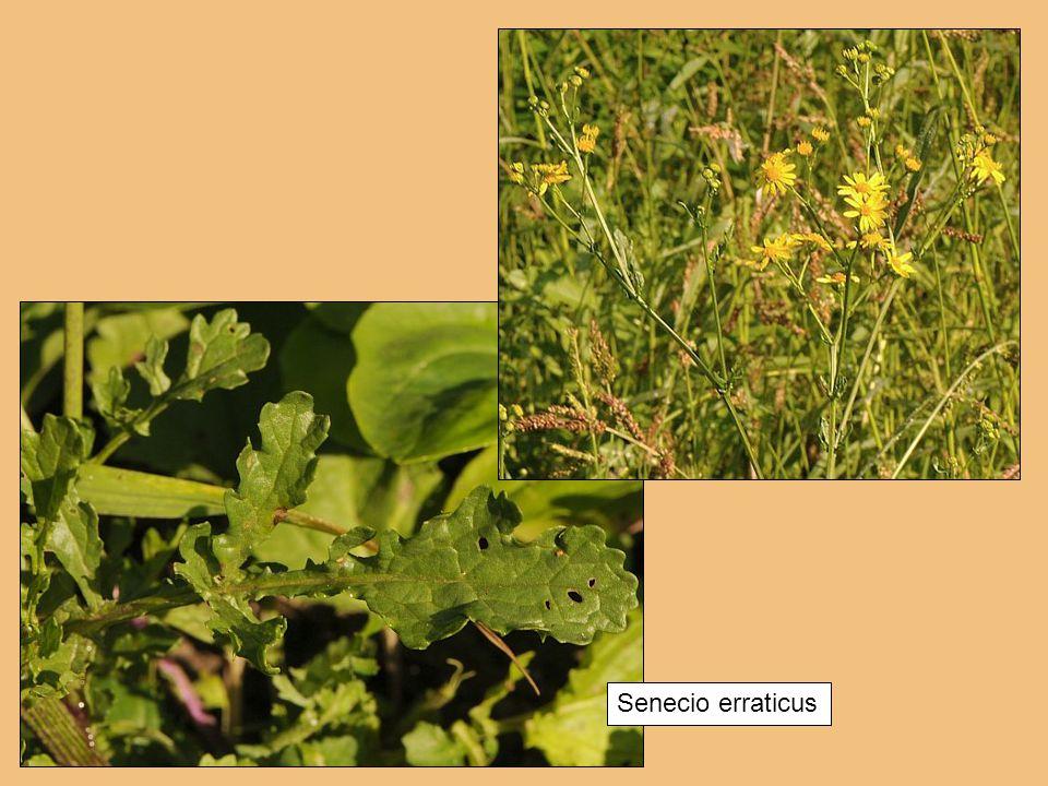 Senecio erraticus
