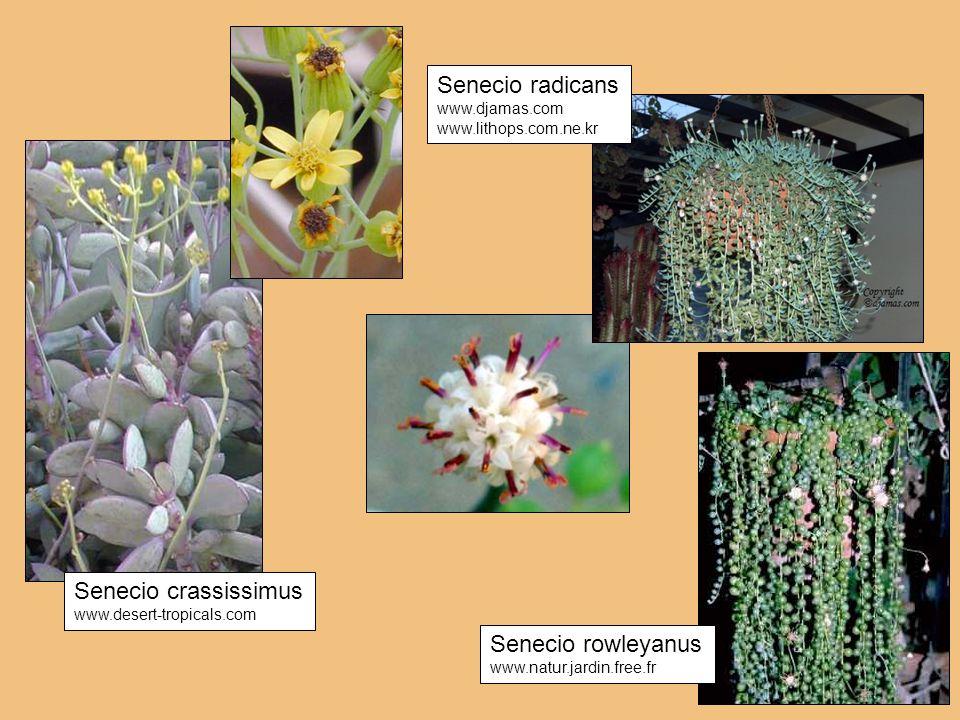 Senecio radicans Senecio crassissimus Senecio rowleyanus