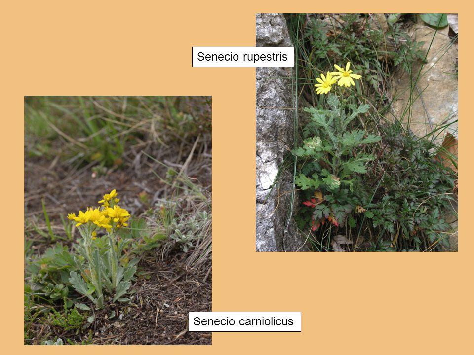 Senecio rupestris Senecio carniolicus