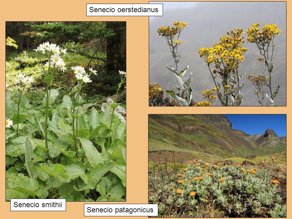 Senecio oerstedianus Senecio smithii Senecio patagonicus