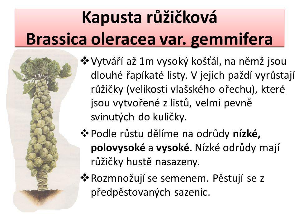 Kapusta růžičková Brassica oleracea var. gemmifera