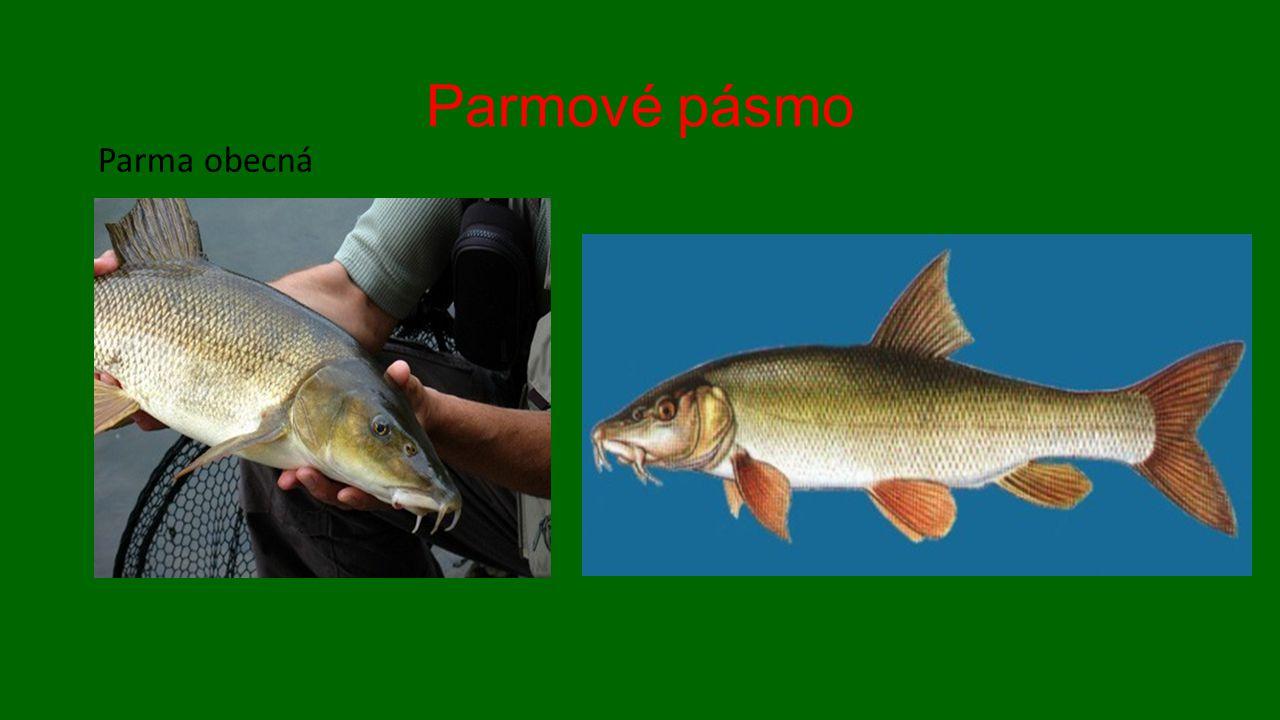 Parmové pásmo Parma obecná