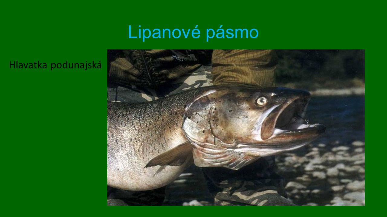Lipanové pásmo Hlavatka podunajská