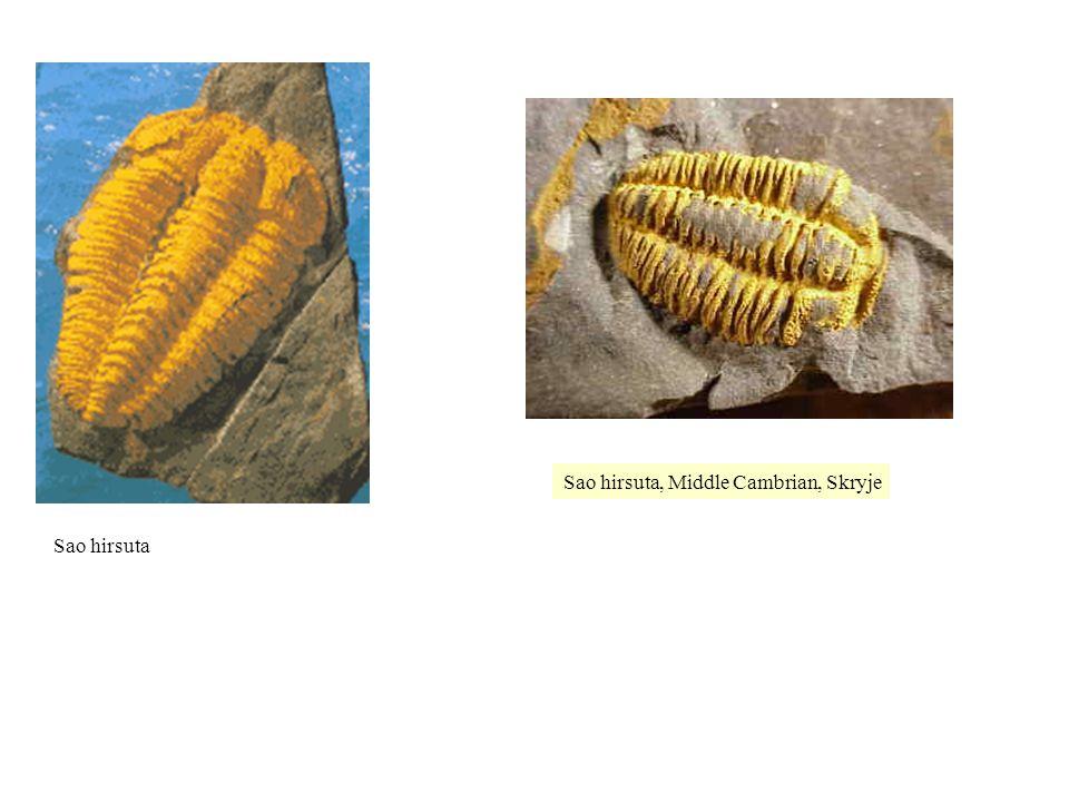 Sao hirsuta, Middle Cambrian, Skryje