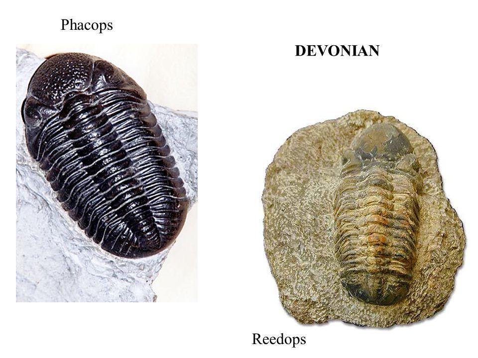 Phacops DEVONIAN Reedops