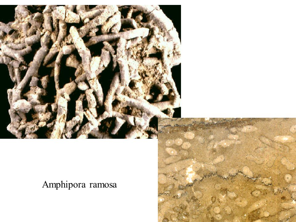 Amphipora ramosa