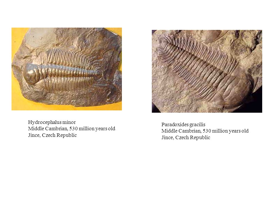 Hydrocephalus minor Middle Cambrian, 530 million years old Jince, Czech Republic. Paradoxides gracilis.