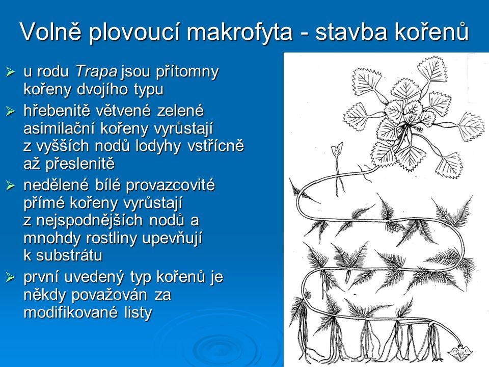 Volně plovoucí makrofyta - stavba kořenů