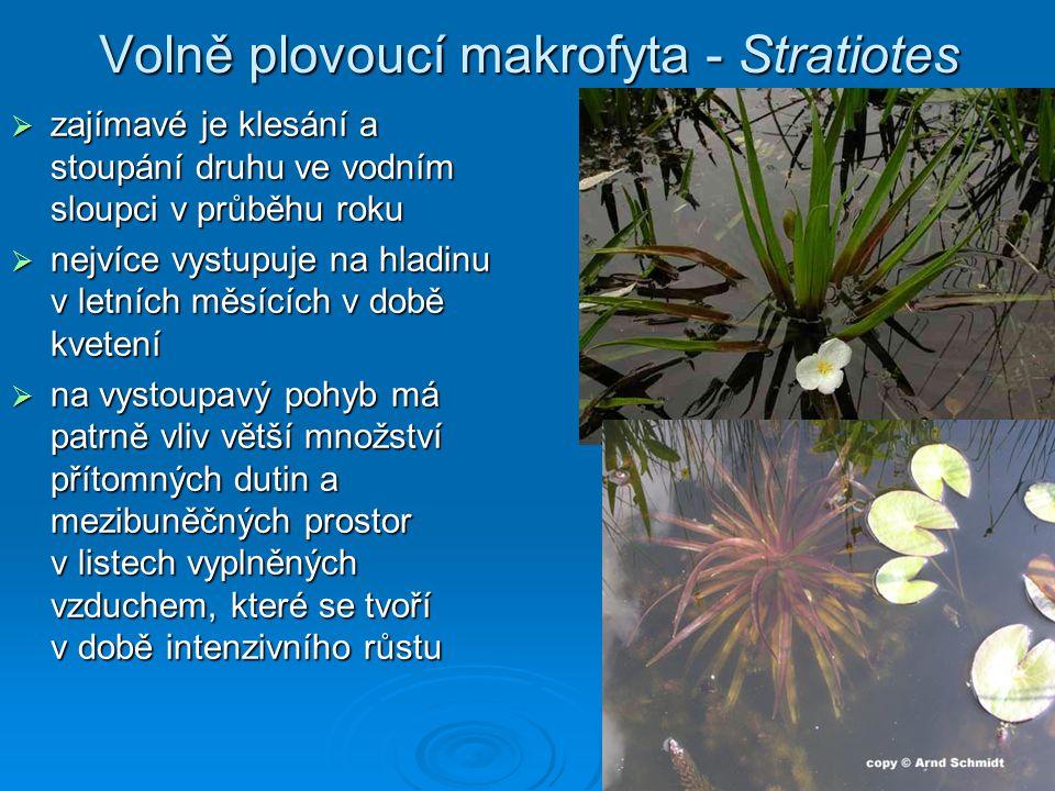 Volně plovoucí makrofyta - Stratiotes