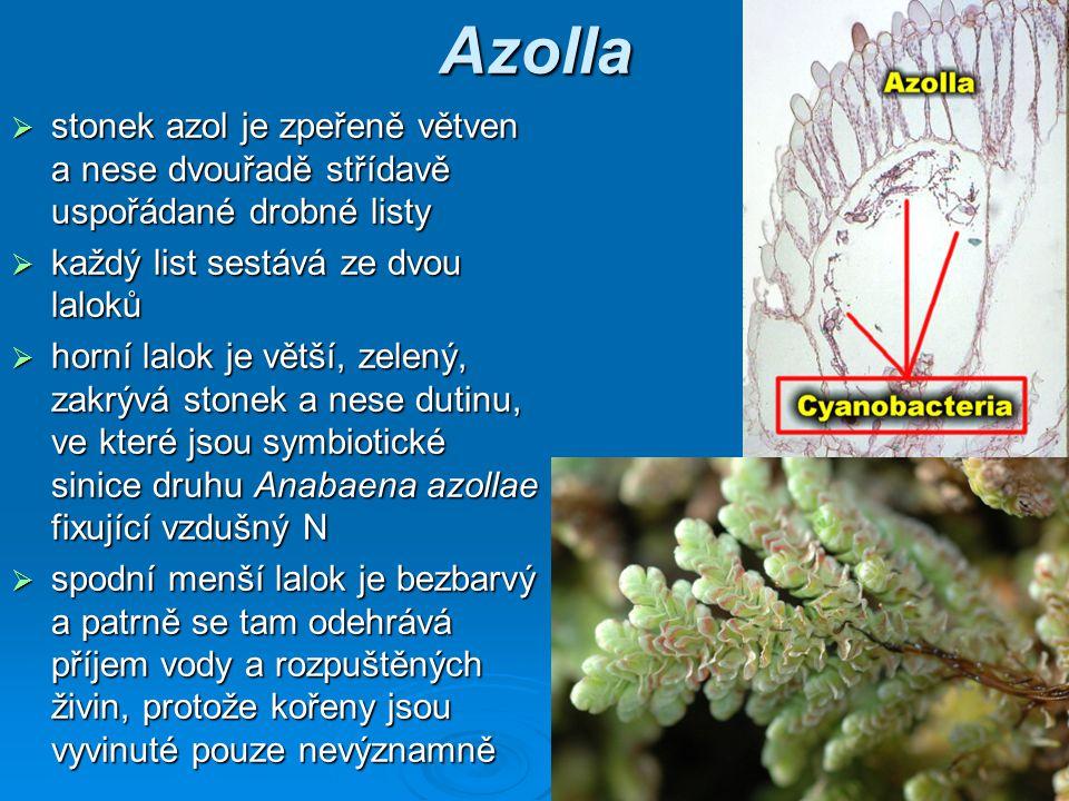 Azolla stonek azol je zpeřeně větven a nese dvouřadě střídavě uspořádané drobné listy. každý list sestává ze dvou laloků.
