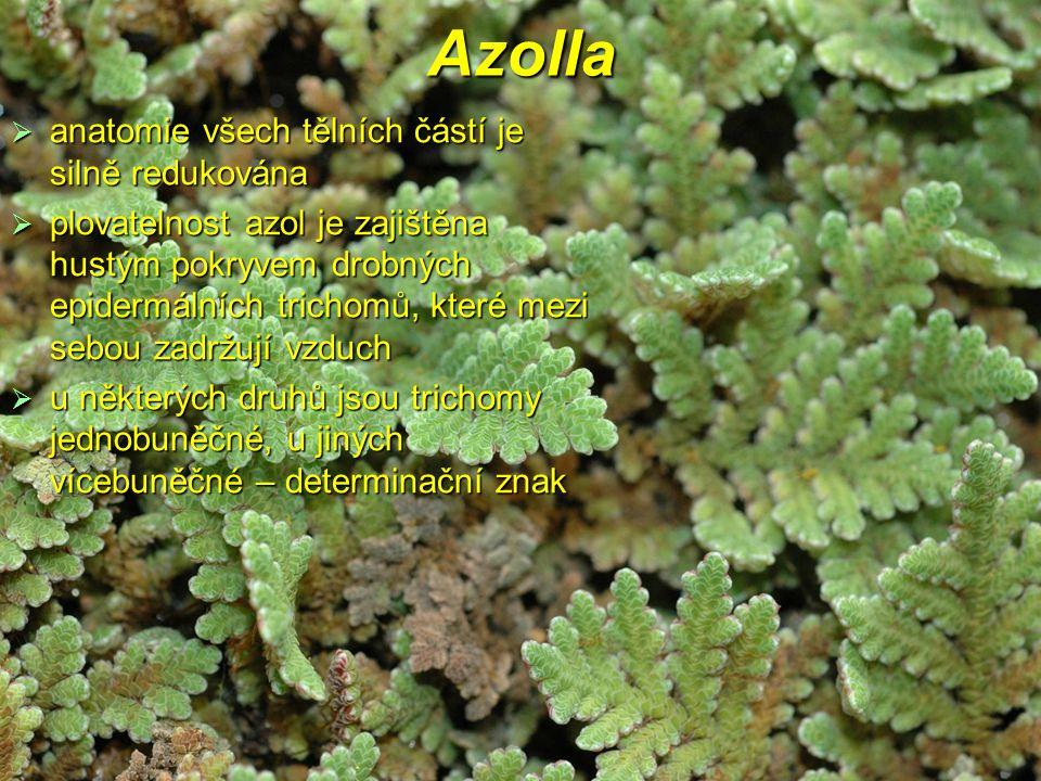Azolla anatomie všech tělních částí je silně redukována