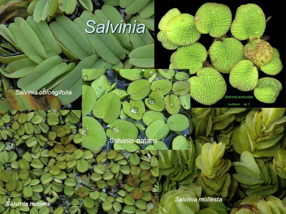 Salvinia Salvinia natans Salvinia oblongifolia Salvinia mollesta
