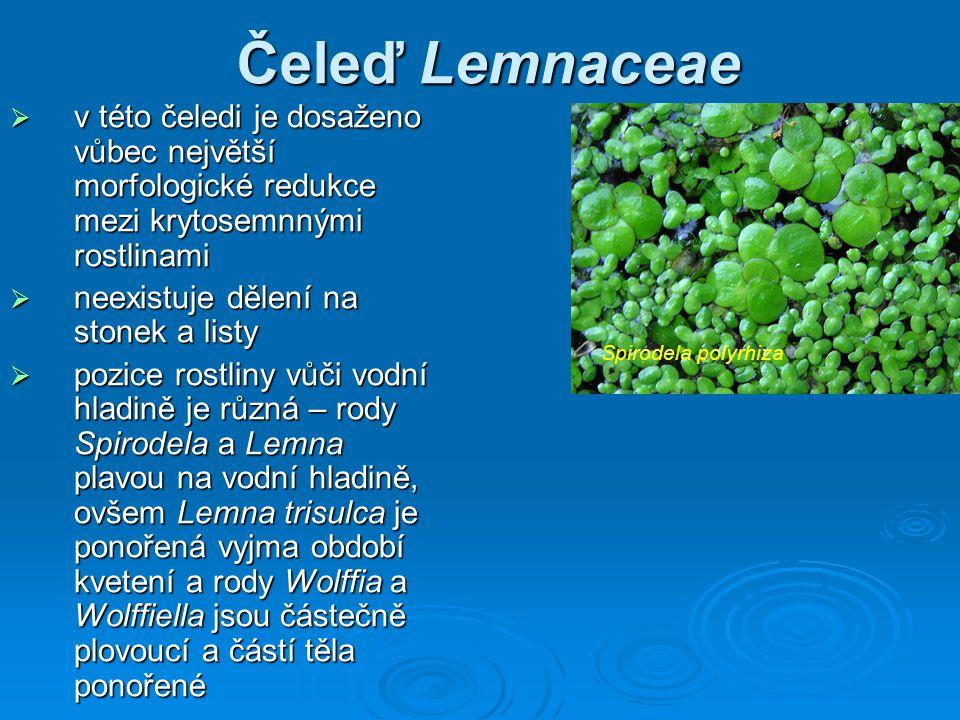 Čeleď Lemnaceae v této čeledi je dosaženo vůbec největší morfologické redukce mezi krytosemnnými rostlinami.