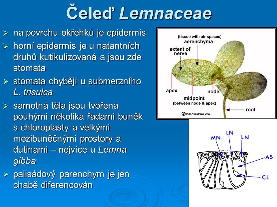 Čeleď Lemnaceae na povrchu okřehků je epidermis
