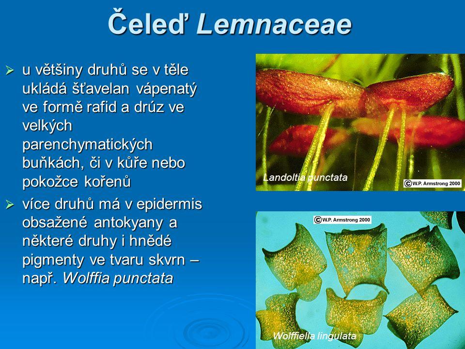 Čeleď Lemnaceae