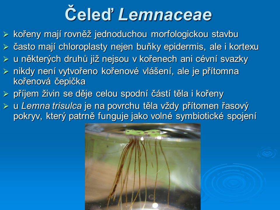 Čeleď Lemnaceae kořeny mají rovněž jednoduchou morfologickou stavbu