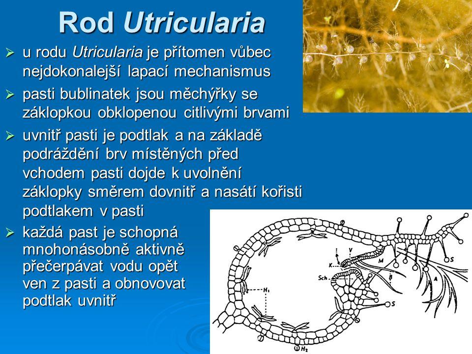 Rod Utricularia u rodu Utricularia je přítomen vůbec nejdokonalejší lapací mechanismus.