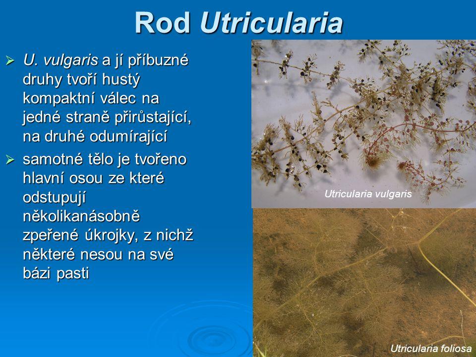 Rod Utricularia U. vulgaris a jí příbuzné druhy tvoří hustý kompaktní válec na jedné straně přirůstající, na druhé odumírající.