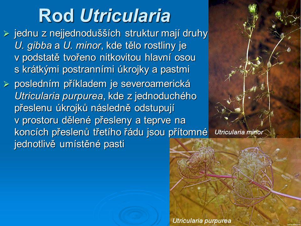 Rod Utricularia