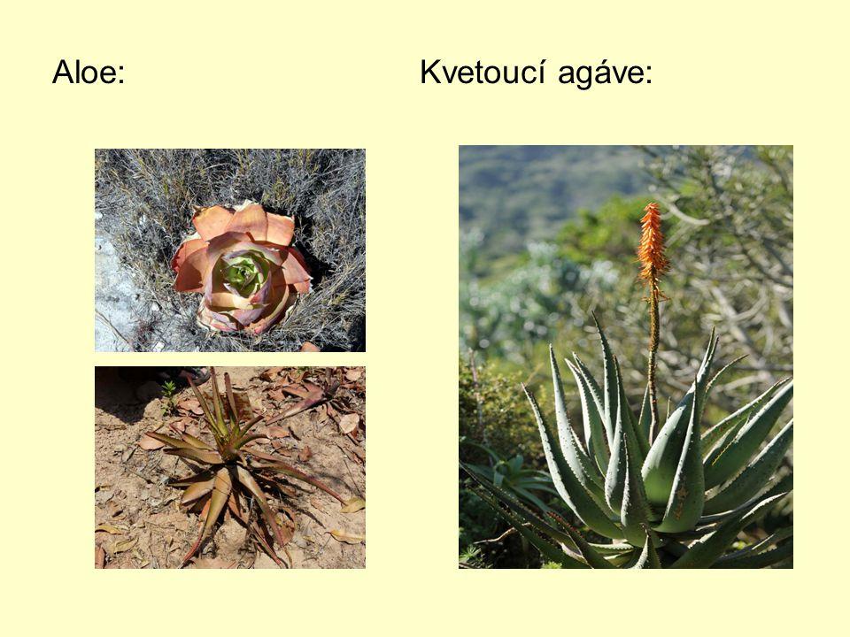 Aloe: Kvetoucí agáve: