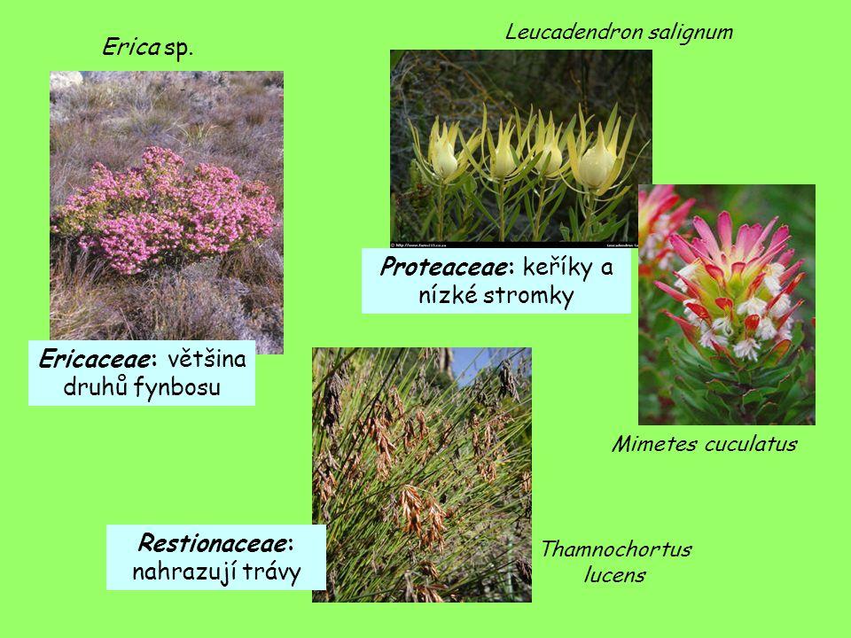 Proteaceae: keříky a nízké stromky