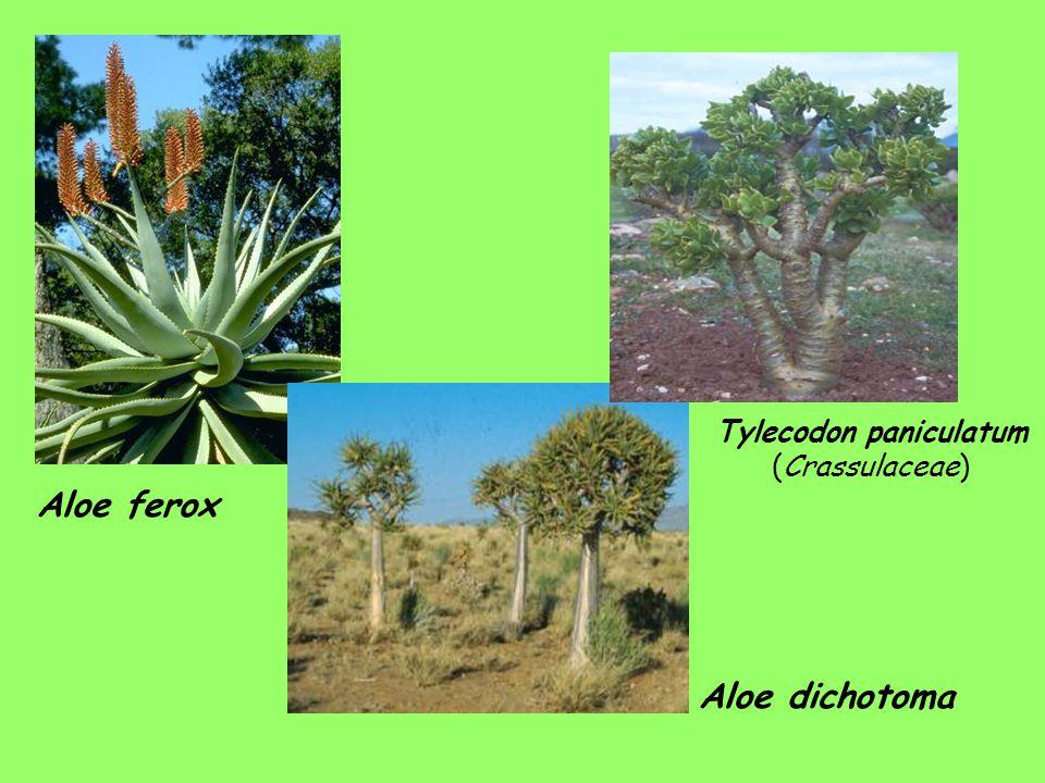 Tylecodon paniculatum (Crassulaceae)