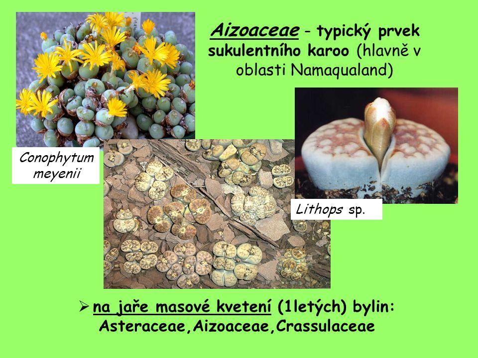 Aizoaceae – typický prvek sukulentního karoo (hlavně v oblasti Namaqualand)