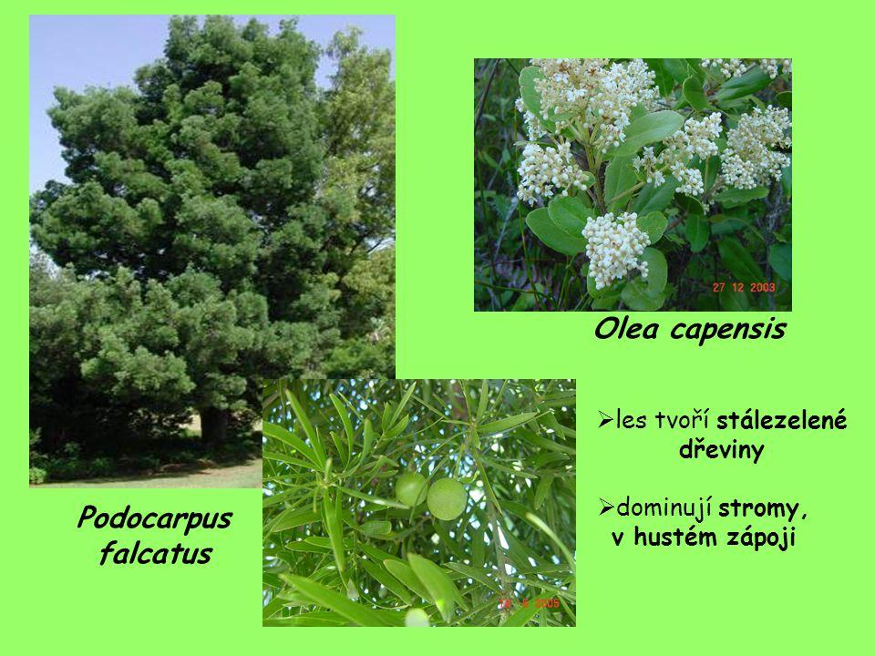Olea capensis Podocarpus falcatus les tvoří stálezelené dřeviny