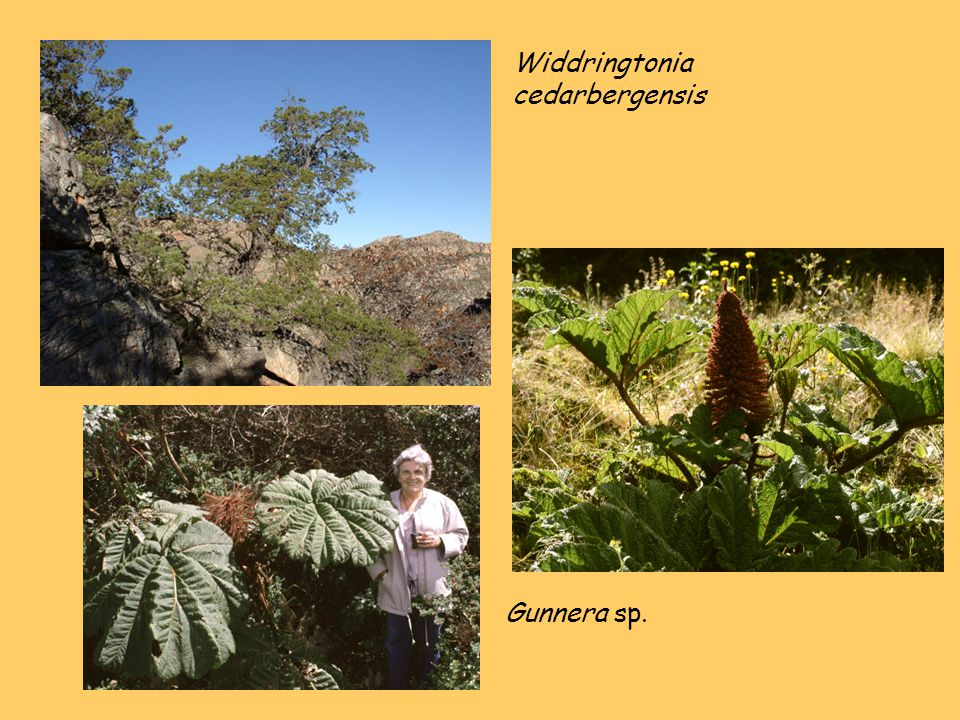 Widdringtonia cedarbergensis