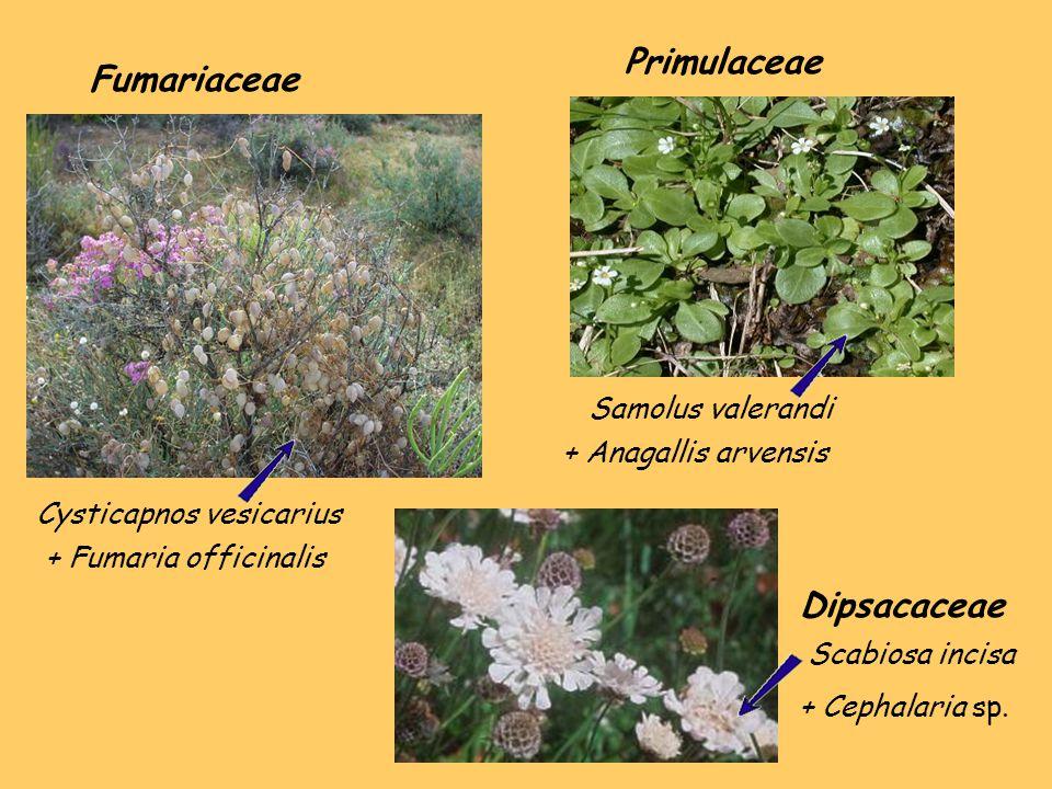 Primulaceae Fumariaceae Dipsacaceae Samolus valerandi
