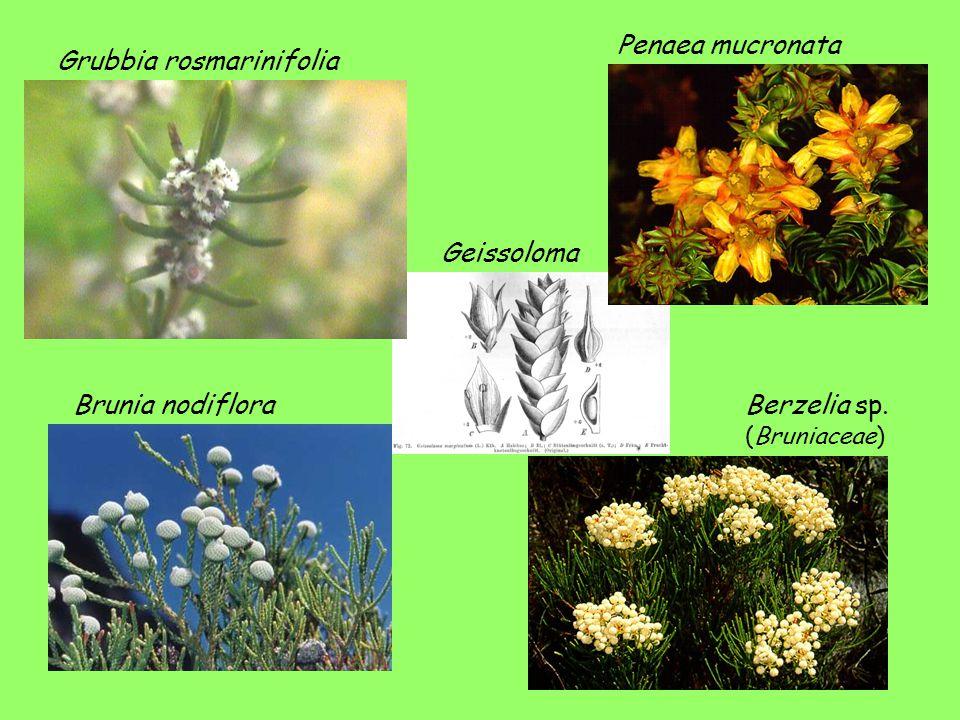Penaea mucronata Grubbia rosmarinifolia Geissoloma Brunia nodiflora Berzelia sp. (Bruniaceae)