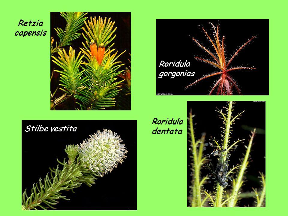 Retzia capensis Roridula gorgonias Roridula dentata Stilbe vestita