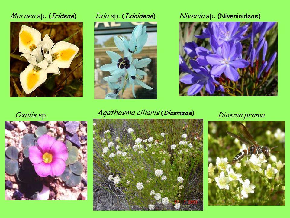 Moraea sp. (Irideae) Ixia sp. (Ixioideae) Nivenia sp. (Nivenioideae) Agathosma ciliaris (Diosmeae)