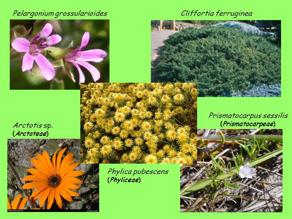Prismatocarpus sessilis (Prismatocarpeae)