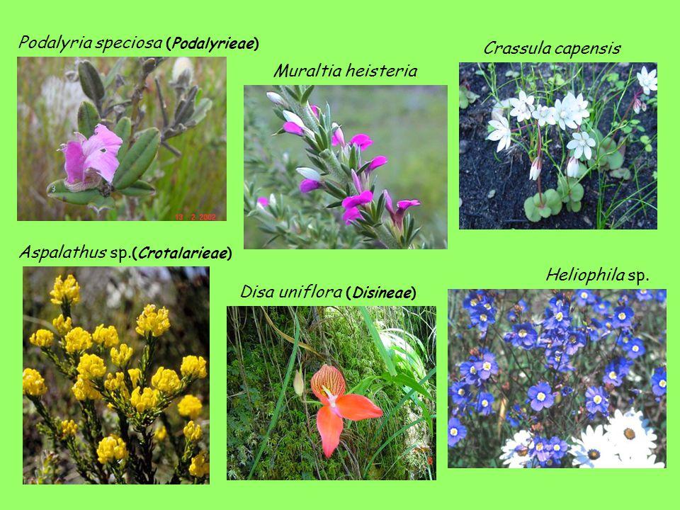 Podalyria speciosa (Podalyrieae)