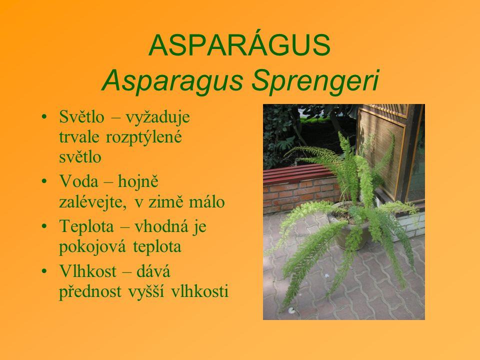 ASPARÁGUS Asparagus Sprengeri