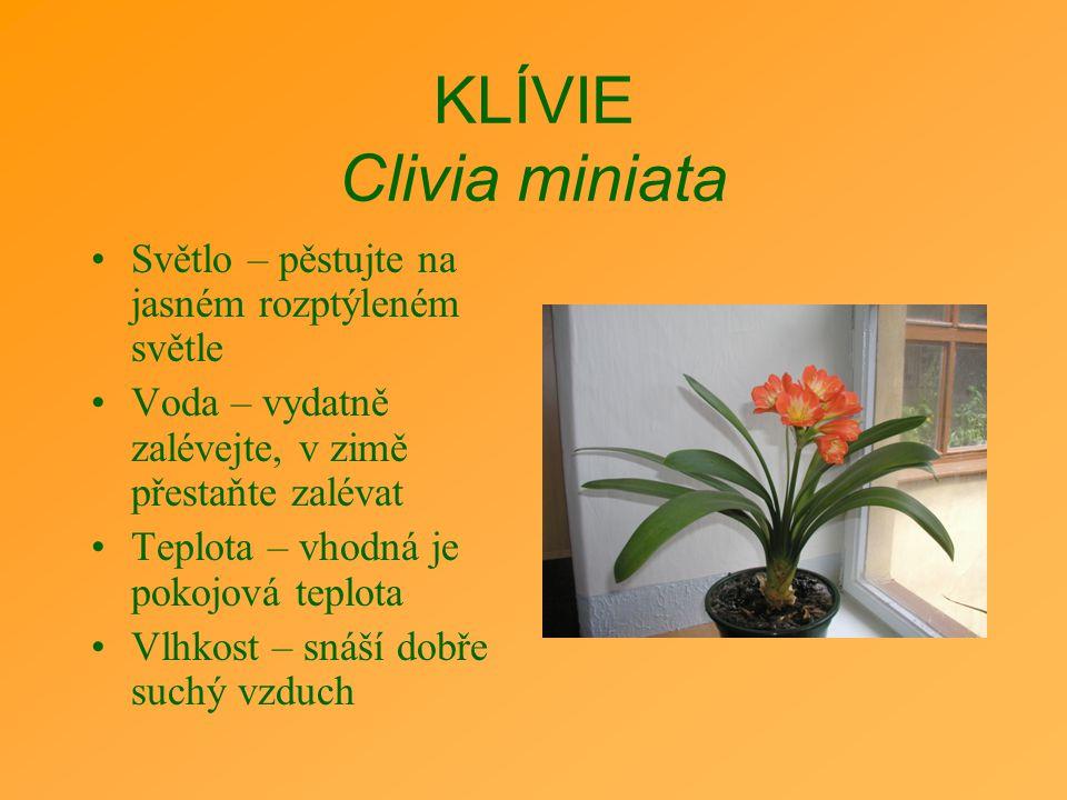 KLÍVIE Clivia miniata Světlo – pěstujte na jasném rozptýleném světle