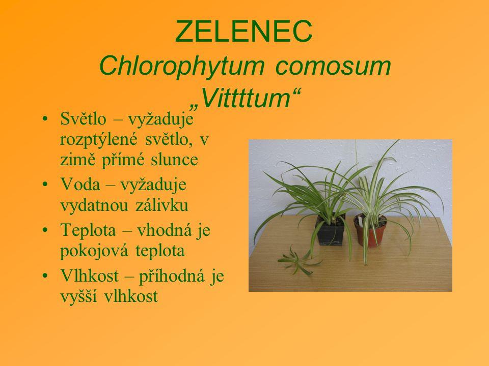 """ZELENEC Chlorophytum comosum """"Vittttum"""