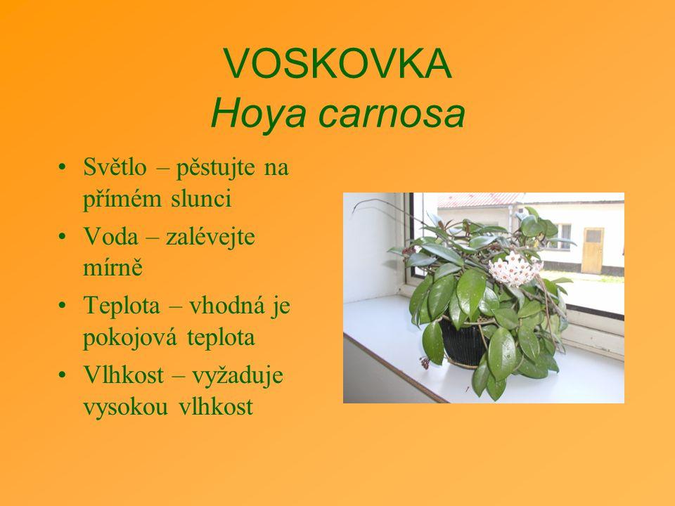 VOSKOVKA Hoya carnosa Světlo – pěstujte na přímém slunci