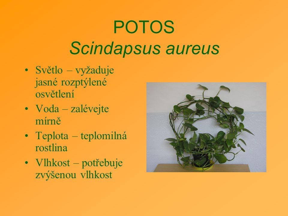POTOS Scindapsus aureus